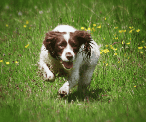 Grooming of the Field Spaniel